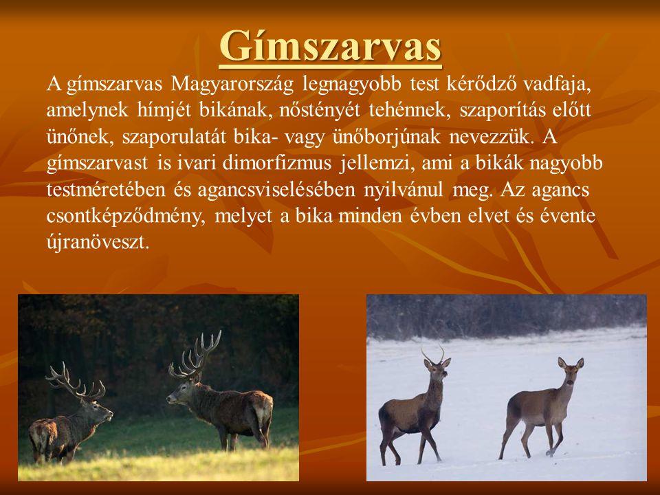 Gímszarvas A gímszarvas Magyarország legnagyobb test kérődző vadfaja,