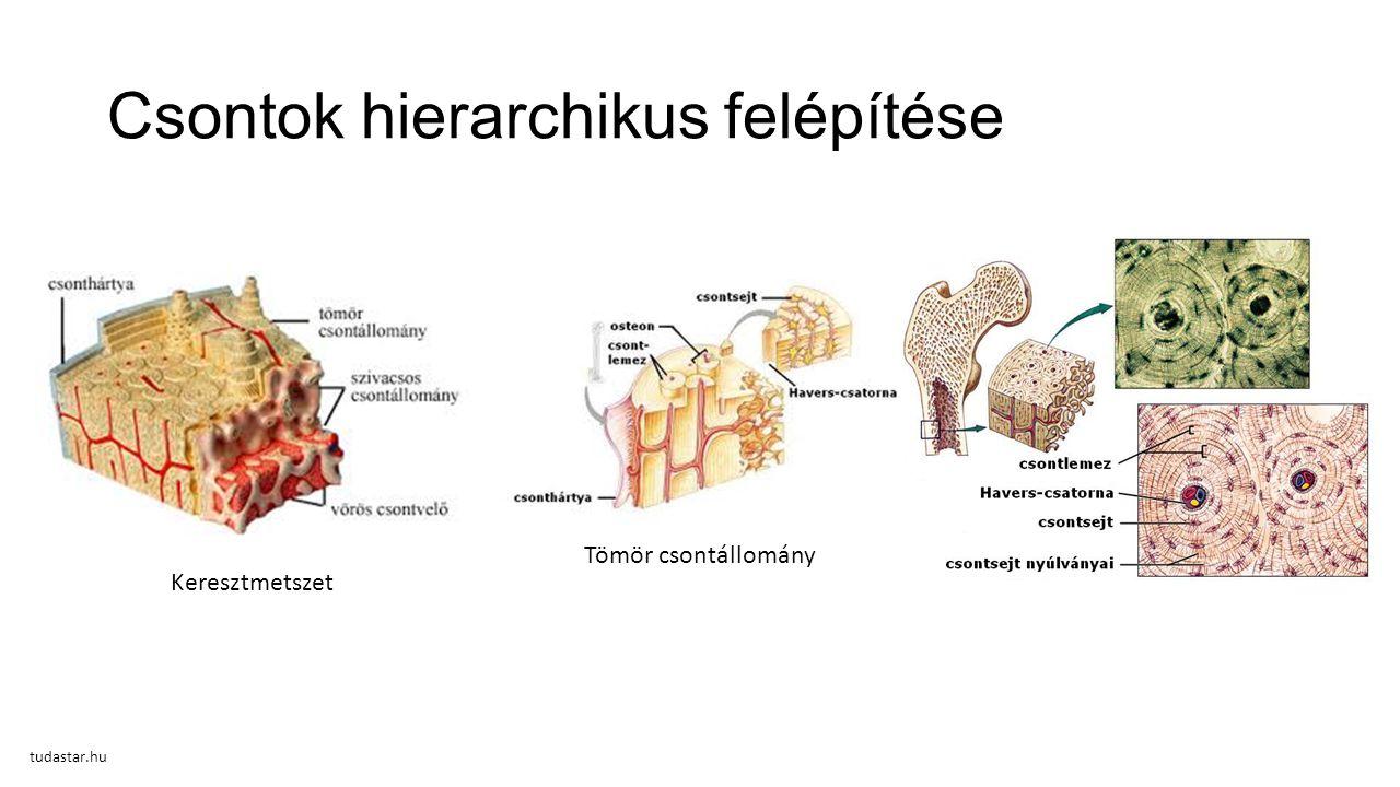 Csontok hierarchikus felépítése