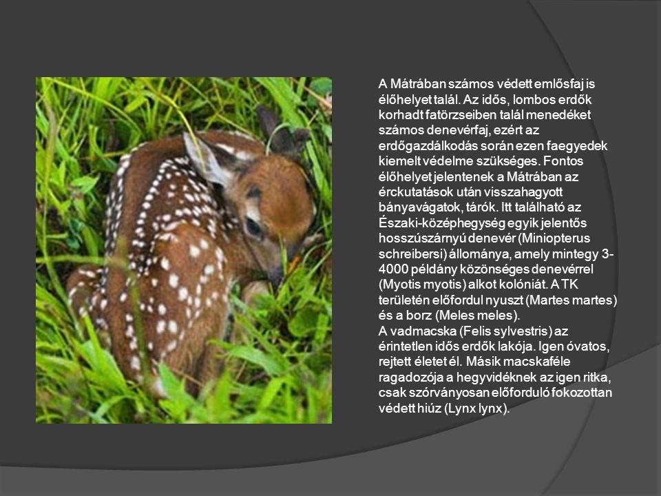 A Mátrában számos védett emlősfaj is élőhelyet talál