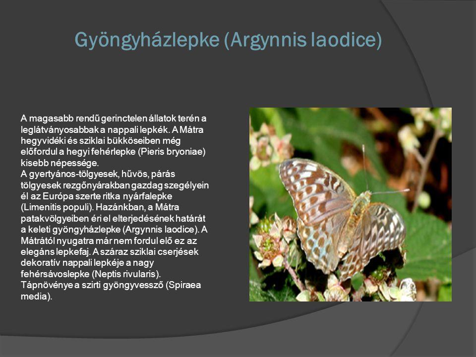 Gyöngyházlepke (Argynnis laodice)