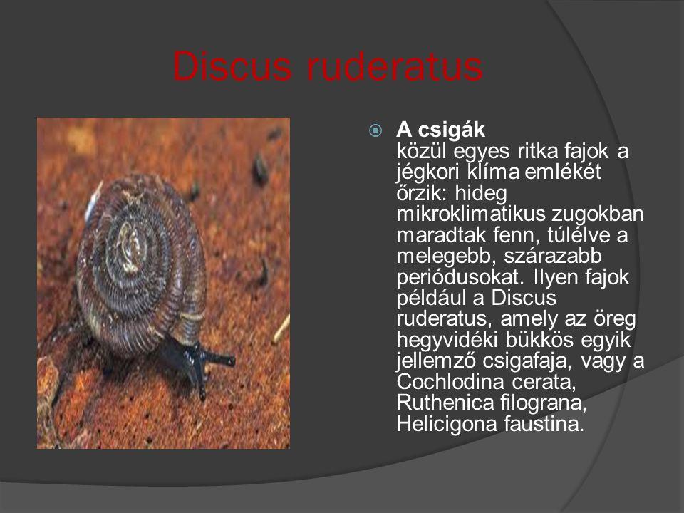 Discus ruderatus