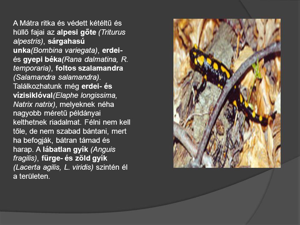A Mátra ritka és védett kétéltű és hüllő fajai az alpesi gőte (Triturus alpestris), sárgahasú unka(Bombina variegata), erdei- és gyepi béka(Rana dalmatina, R.