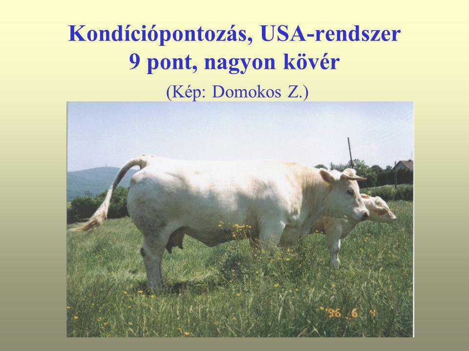 Kondíciópontozás, USA-rendszer 9 pont, nagyon kövér (Kép: Domokos Z.)
