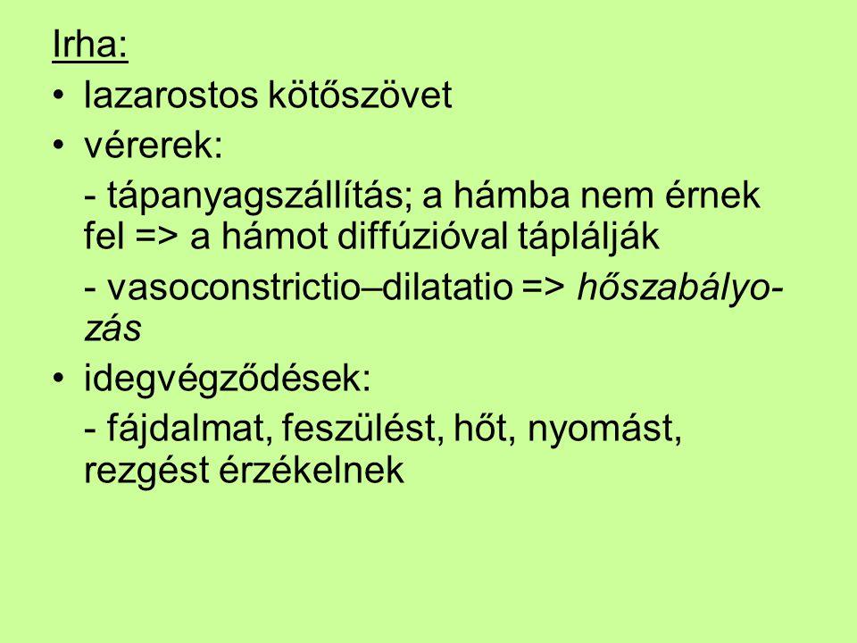 Irha: lazarostos kötőszövet. vérerek: - tápanyagszállítás; a hámba nem érnek fel => a hámot diffúzióval táplálják.