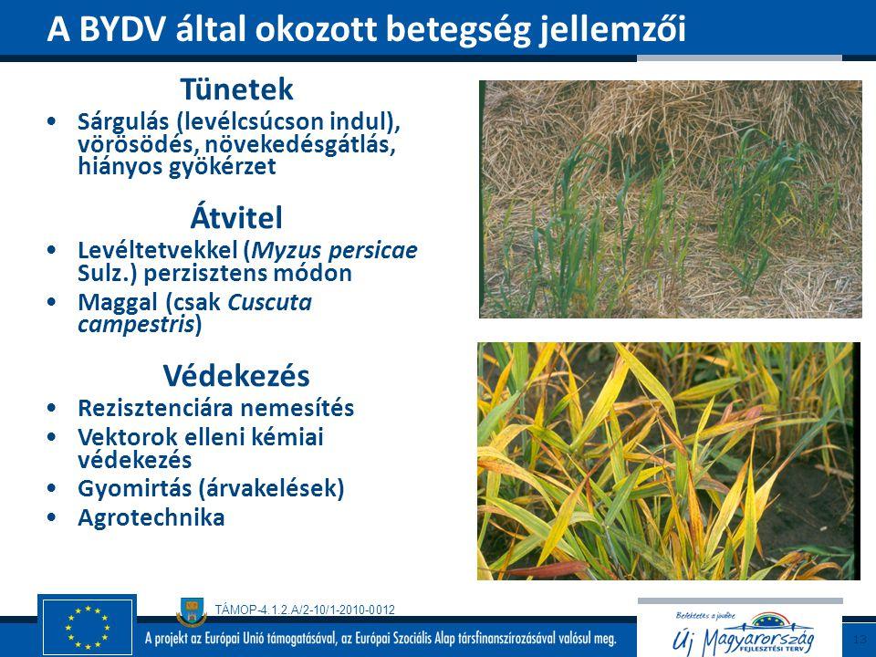 A BYDV által okozott betegség jellemzői