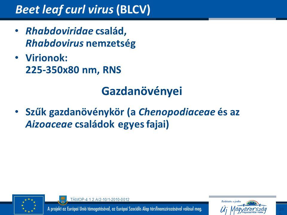 Beet leaf curl virus (BLCV)