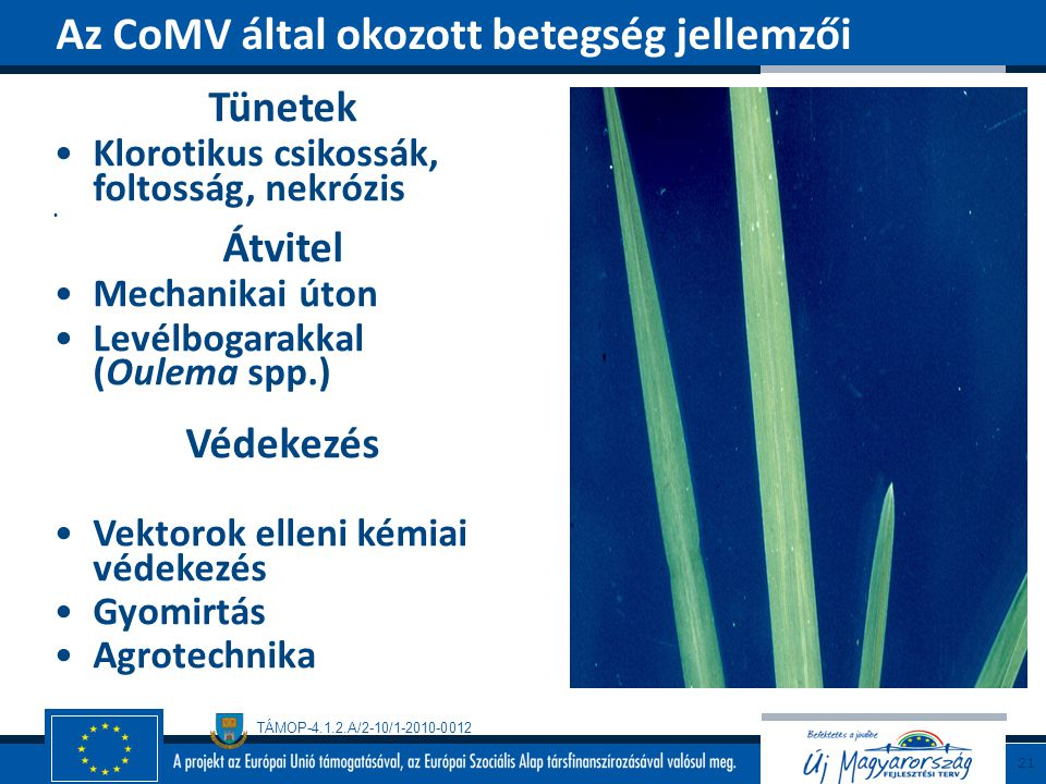Az CoMV által okozott betegség jellemzői