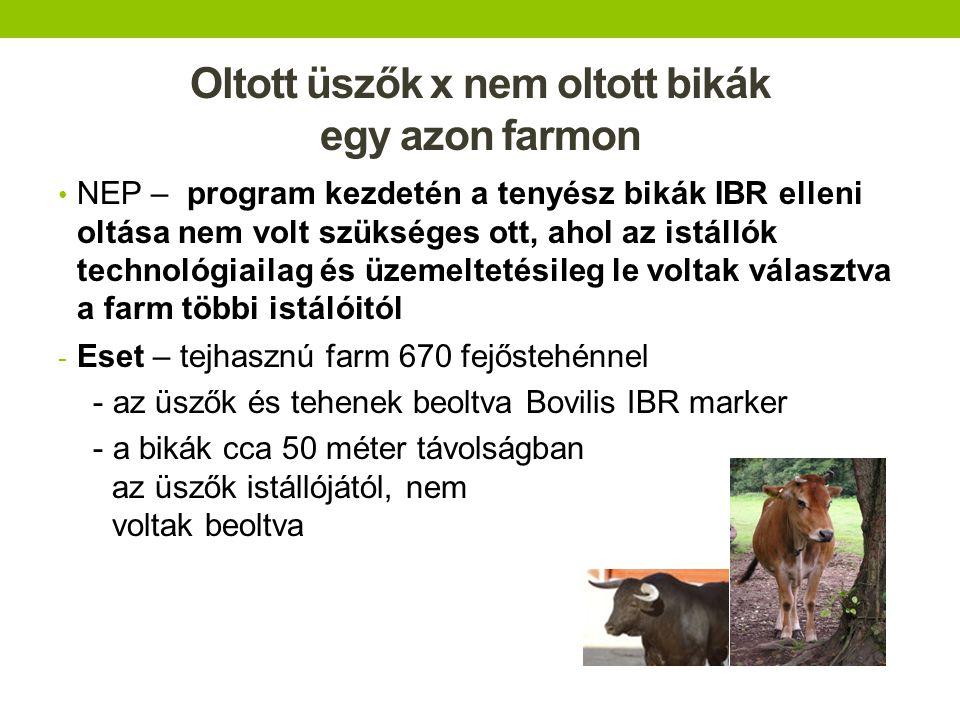 Oltott üszők x nem oltott bikák egy azon farmon
