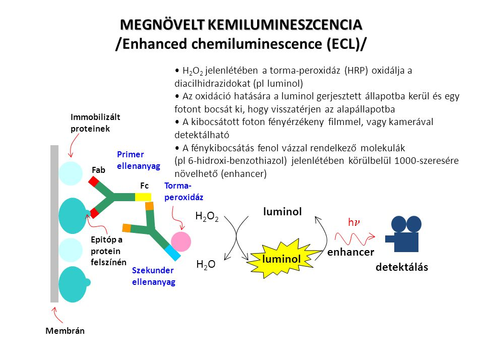 MEGNÖVELT KEMILUMINESZCENCIA /Enhanced chemiluminescence (ECL)/