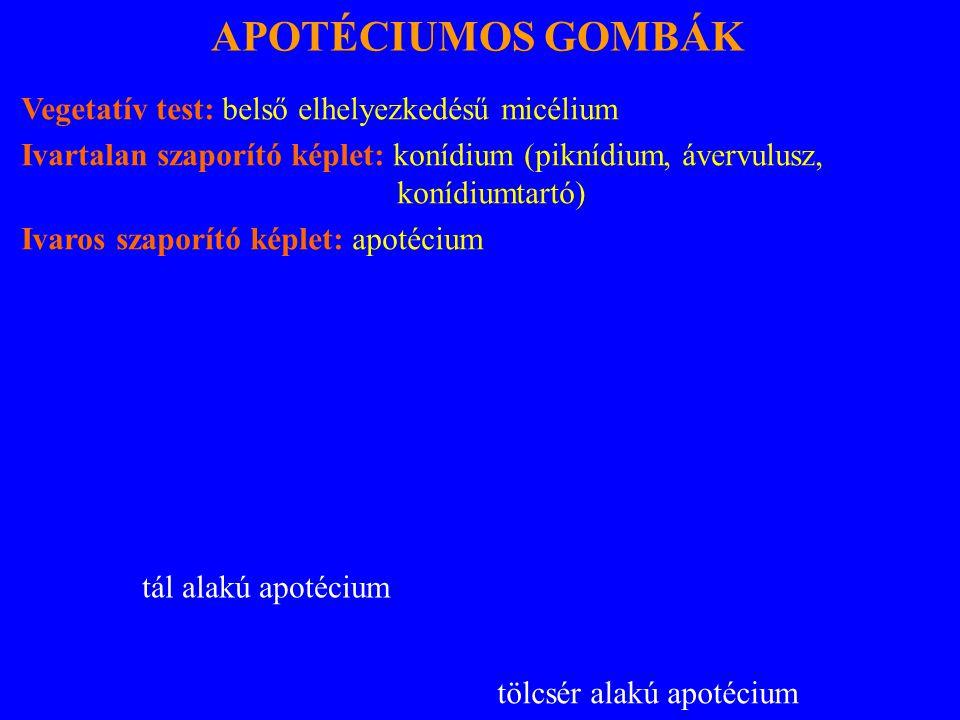 APOTÉCIUMOS GOMBÁK Vegetatív test: belső elhelyezkedésű micélium