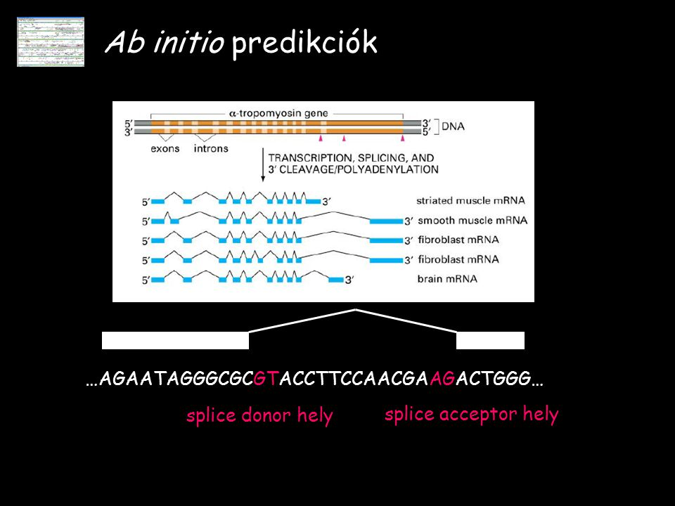 Ab initio predikciók …AGAATAGGGCGCGTACCTTCCAACGAAGACTGGG…