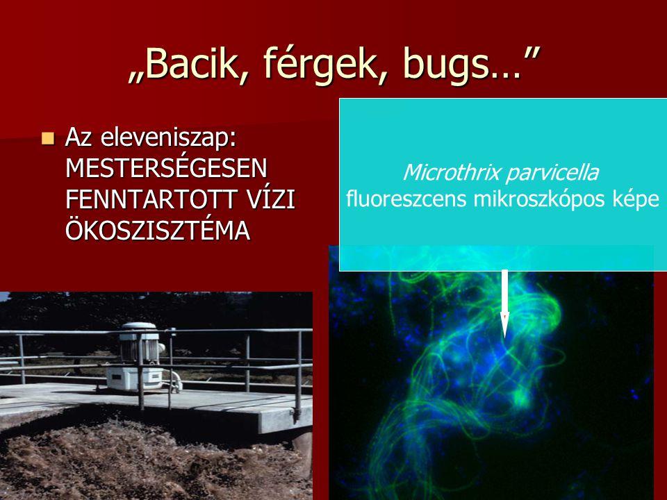 """""""Bacik, férgek, bugs… Microthrix parvicella. fluoreszcens mikroszkópos képe."""
