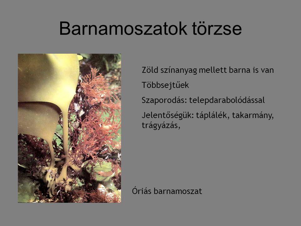 Barnamoszatok törzse Zöld színanyag mellett barna is van Többsejtűek
