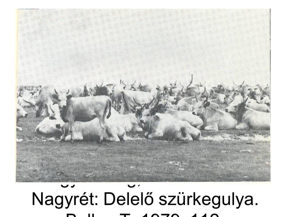 Nagykunság, Kunmadaras-Nagyrét: Delelő szürkegulya. Bellon T. 1979: 112.