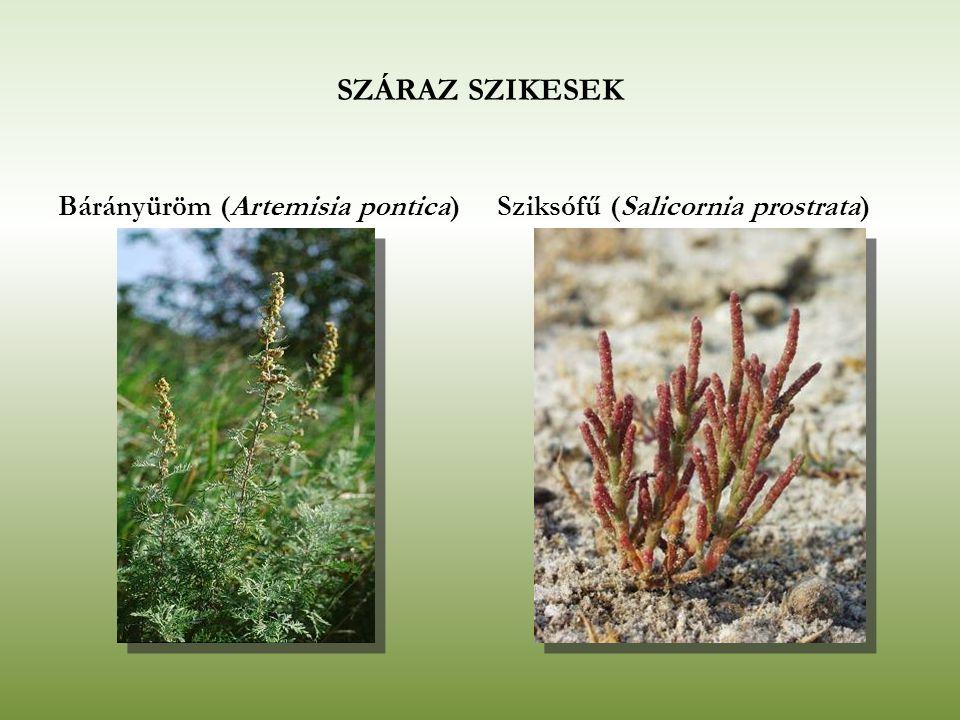 SZÁRAZ SZIKESEK Bárányüröm (Artemisia pontica)