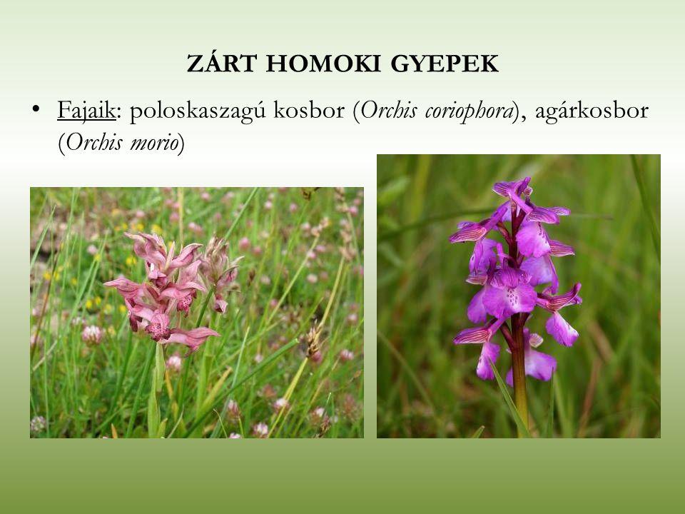 ZÁRT HOMOKI GYEPEK Fajaik: poloskaszagú kosbor (Orchis coriophora), agárkosbor (Orchis morio)
