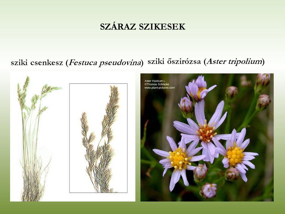 SZÁRAZ SZIKESEK sziki őszirózsa (Aster tripolium)
