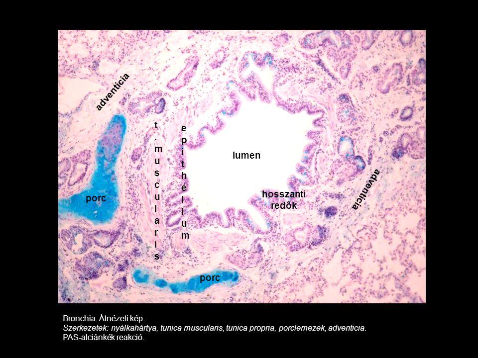 adventicia t.muscularis adventicia hosszanti redők