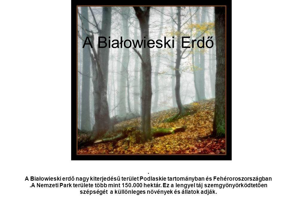 A Białowieski Erdő