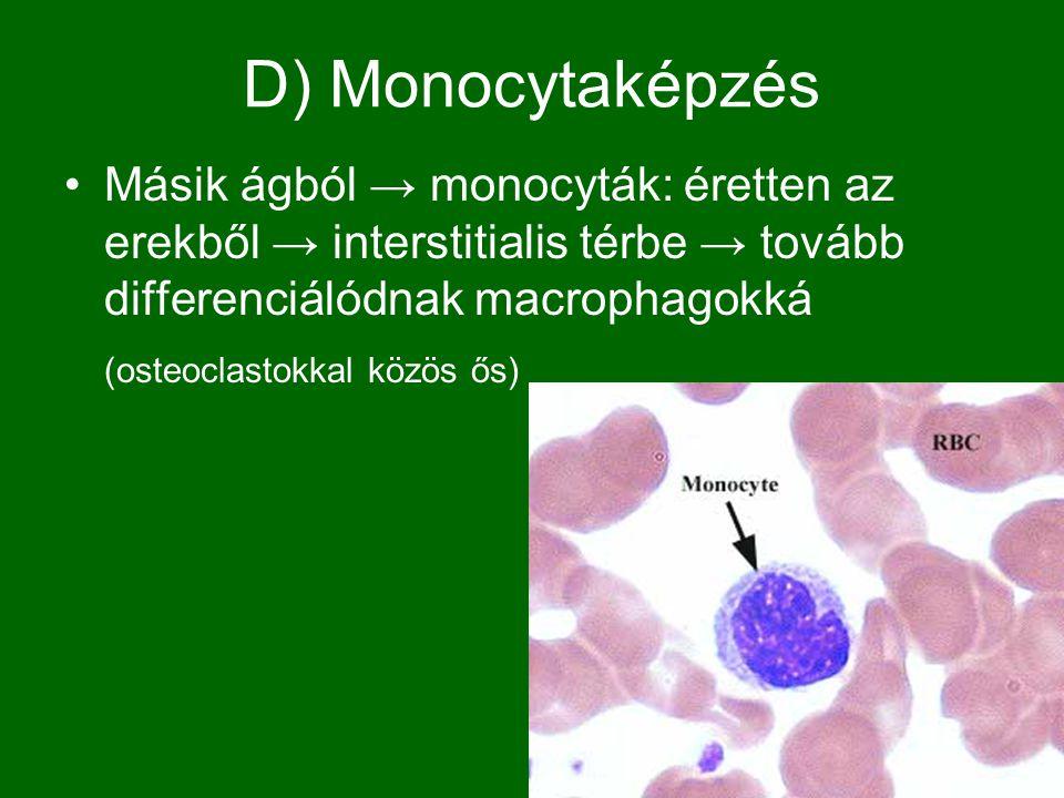 D) Monocytaképzés Másik ágból → monocyták: éretten az erekből → interstitialis térbe → tovább differenciálódnak macrophagokká.