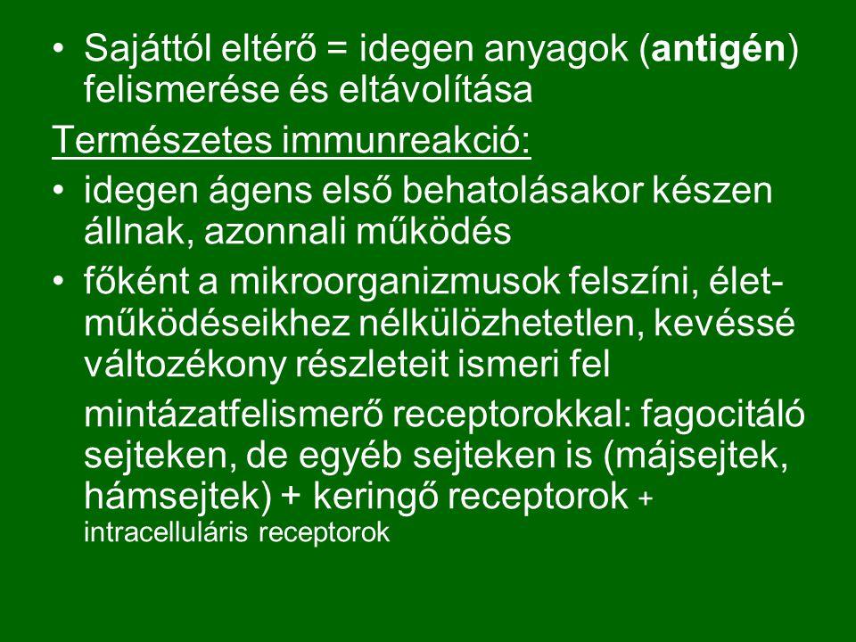 Sajáttól eltérő = idegen anyagok (antigén) felismerése és eltávolítása