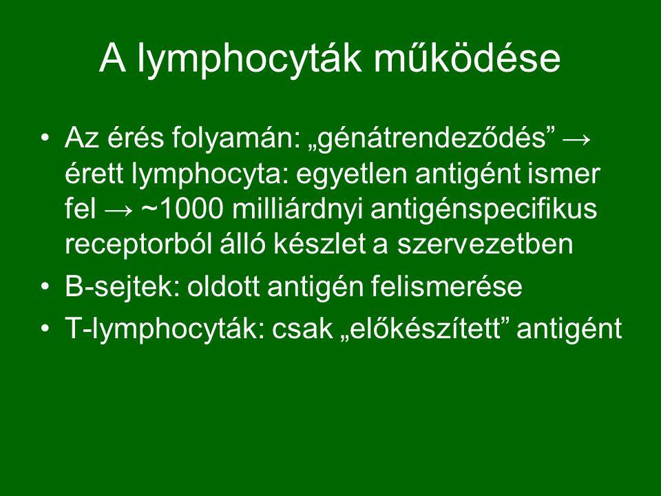 A lymphocyták működése