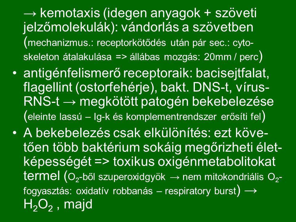 → kemotaxis (idegen anyagok + szöveti jelzőmolekulák): vándorlás a szövetben (mechanizmus.: receptorkötődés után pár sec.: cyto-skeleton átalakulása => állábas mozgás: 20mm / perc)