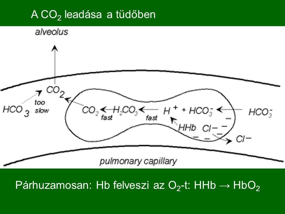A CO2 leadása a tüdőben Párhuzamosan: Hb felveszi az O2-t: HHb → HbO2