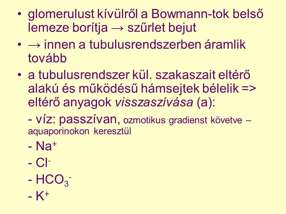 glomerulust kívülről a Bowmann-tok belső lemeze borítja → szűrlet bejut