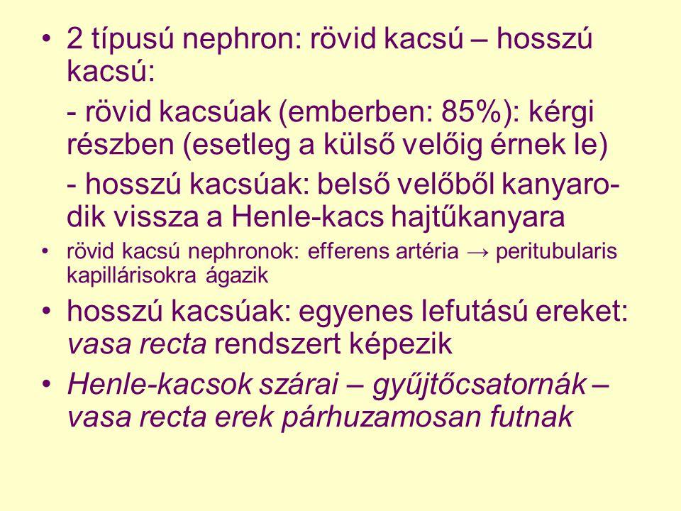 2 típusú nephron: rövid kacsú – hosszú kacsú: