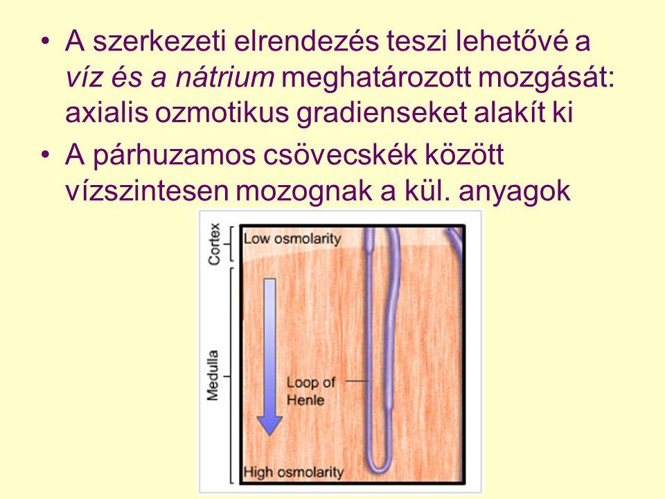 A szerkezeti elrendezés teszi lehetővé a víz és a nátrium meghatározott mozgását: axialis ozmotikus gradienseket alakít ki