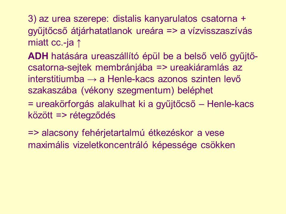 3) az urea szerepe: distalis kanyarulatos csatorna + gyűjtőcső átjárhatatlanok ureára => a vízvisszaszívás miatt cc.-ja ↑
