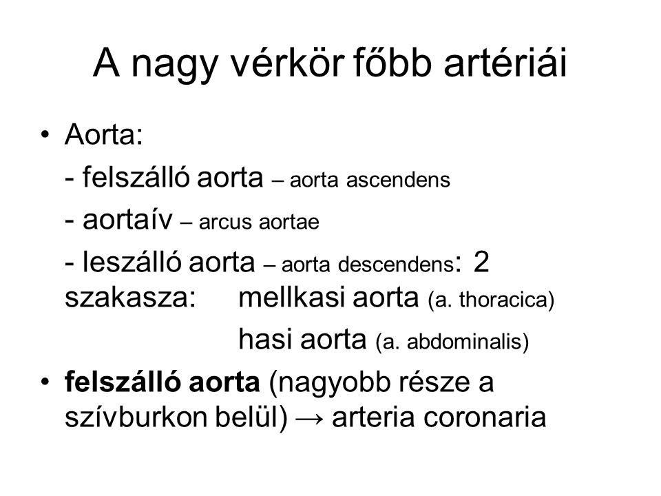 A nagy vérkör főbb artériái