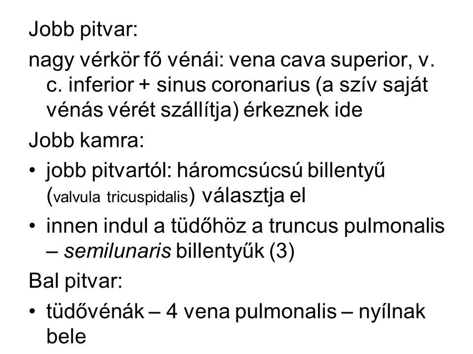 Jobb pitvar: nagy vérkör fő vénái: vena cava superior, v. c. inferior + sinus coronarius (a szív saját vénás vérét szállítja) érkeznek ide.