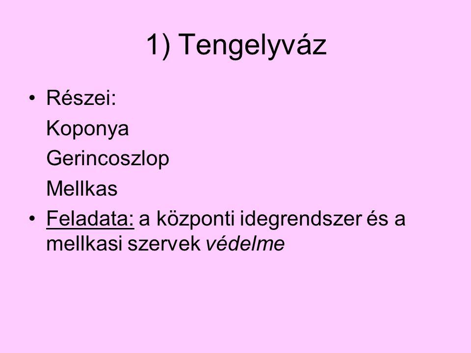1) Tengelyváz Részei: Koponya Gerincoszlop Mellkas