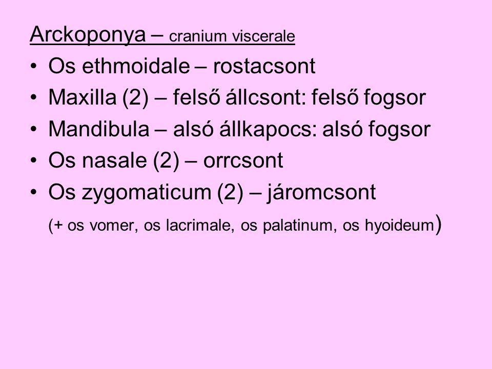 Arckoponya – cranium viscerale Os ethmoidale – rostacsont