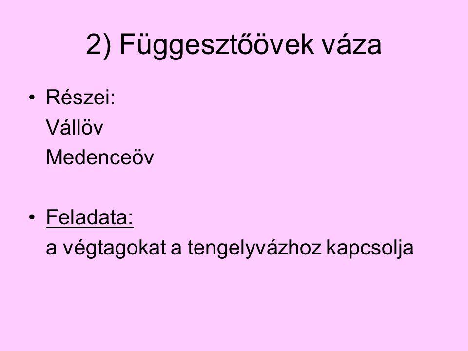 2) Függesztőövek váza Részei: Vállöv Medenceöv Feladata: