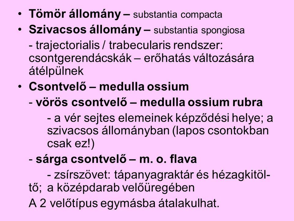 Tömör állomány – substantia compacta