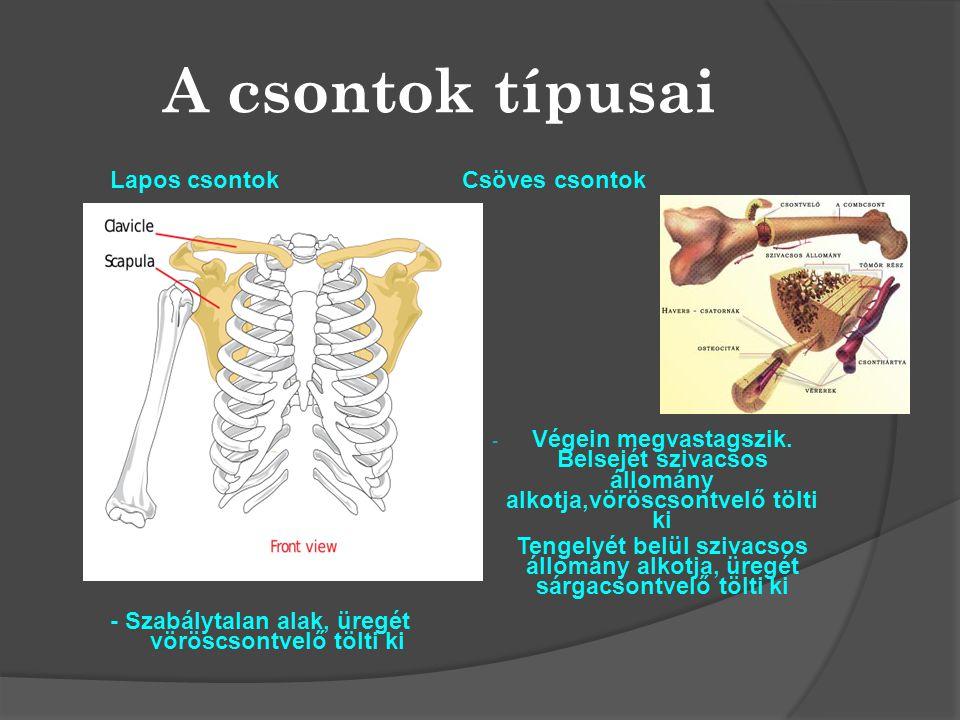 A csontok típusai Lapos csontok - Szabálytalan alak, üregét vöröscsontvelő tölti ki Csöves csontok.