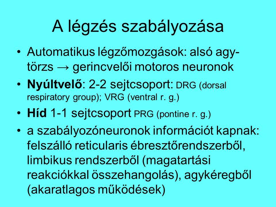 A légzés szabályozása Automatikus légzőmozgások: alsó agy-törzs → gerincvelői motoros neuronok.