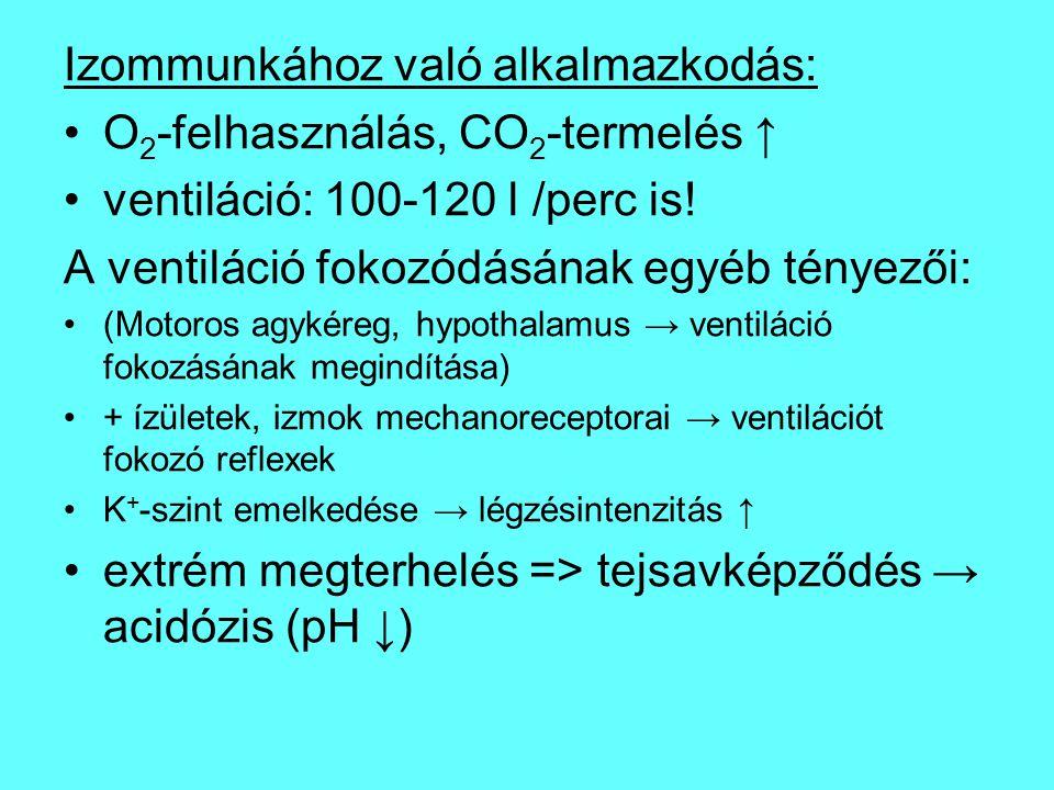 Izommunkához való alkalmazkodás: O2-felhasználás, CO2-termelés ↑