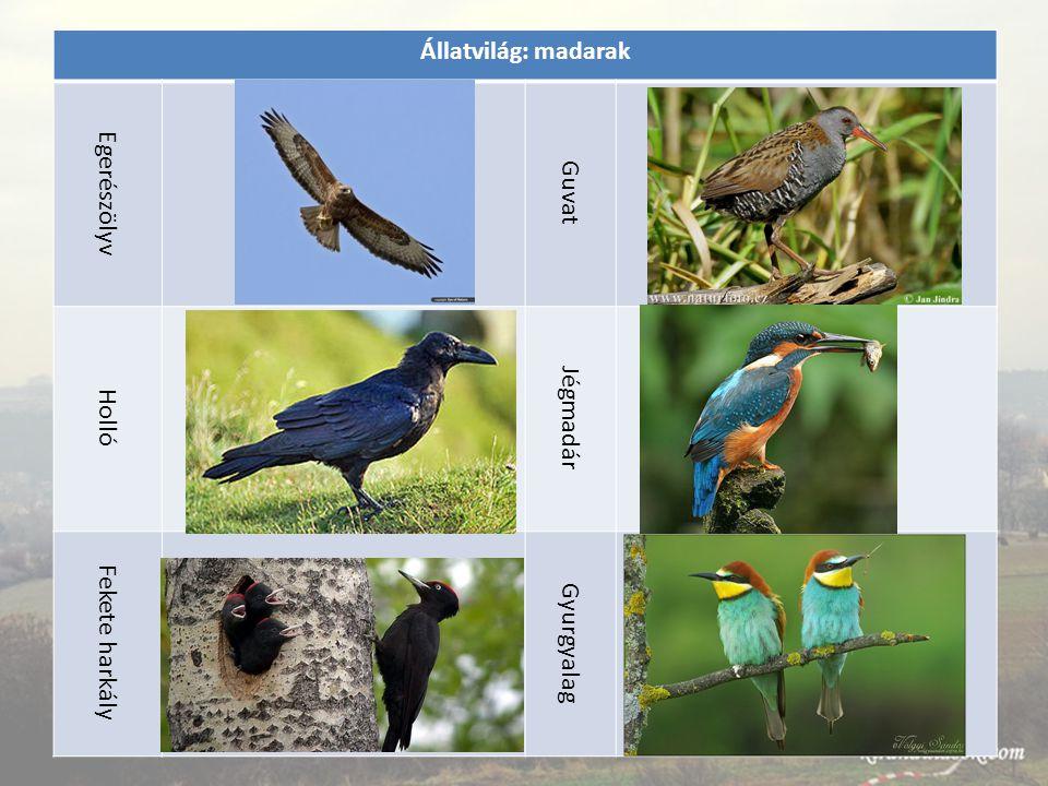Állatvilág: madarak Egerészölyv Guvat Holló Jégmadár Fekete harkály Gyurgyalag