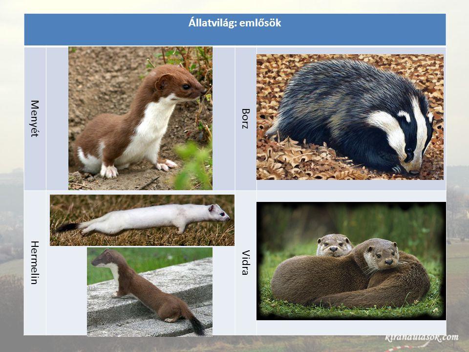 Állatvilág: emlősök Menyét Borz Hermelin Vidra