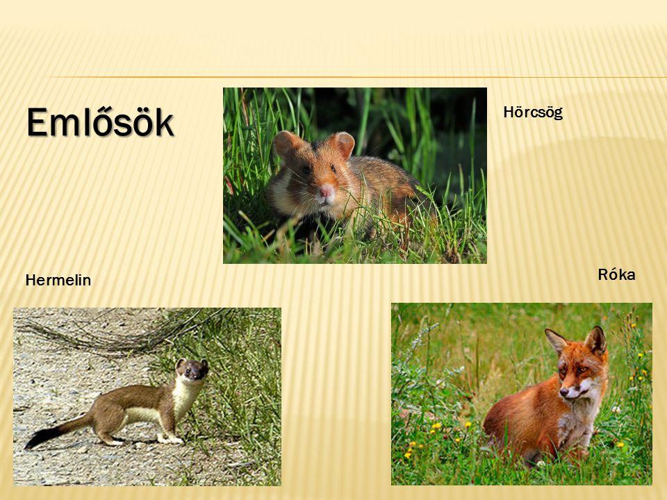 Emlősök Hörcsög Róka Hermelin