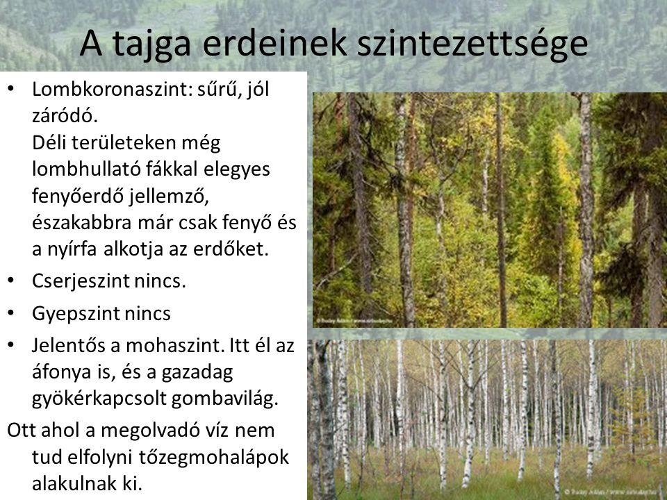 A tajga erdeinek szintezettsége