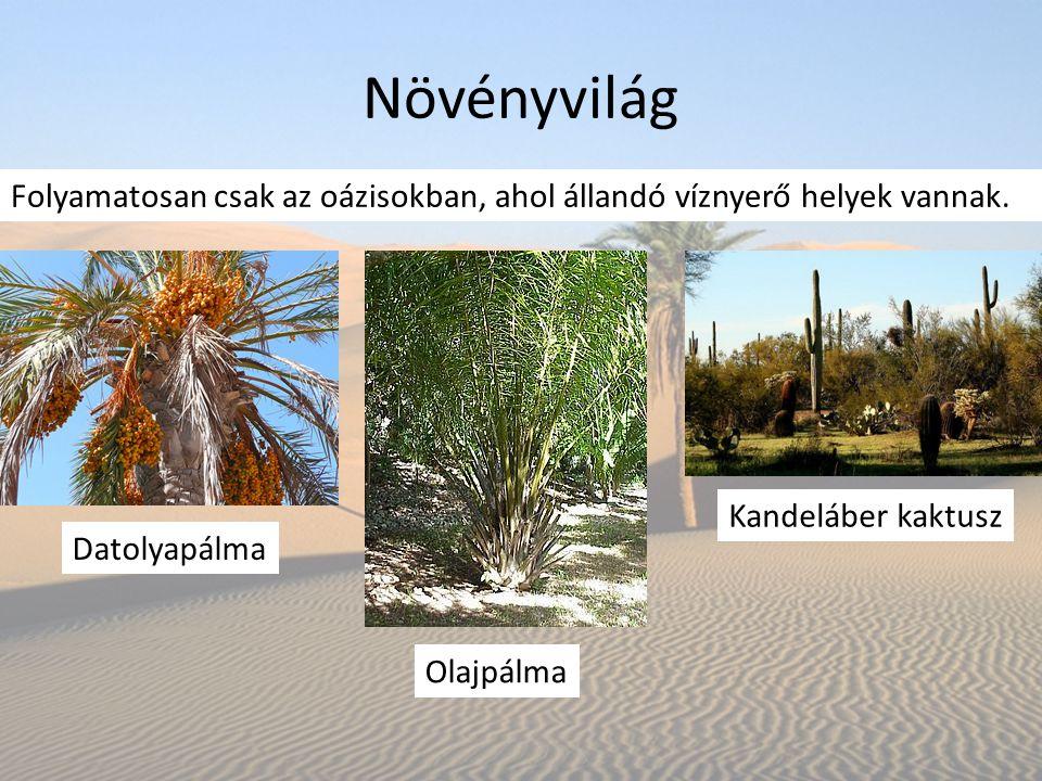 Növényvilág Folyamatosan csak az oázisokban, ahol állandó víznyerő helyek vannak. Kandeláber kaktusz.