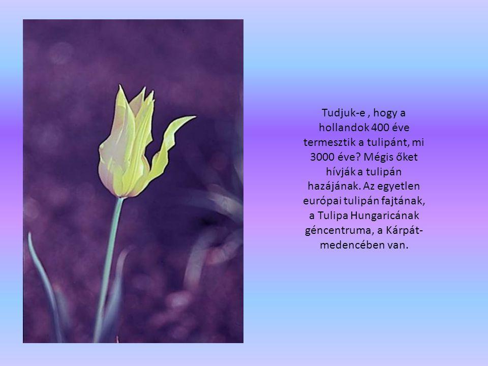 Tudjuk-e , hogy a hollandok 400 éve termesztik a tulipánt, mi 3000 éve