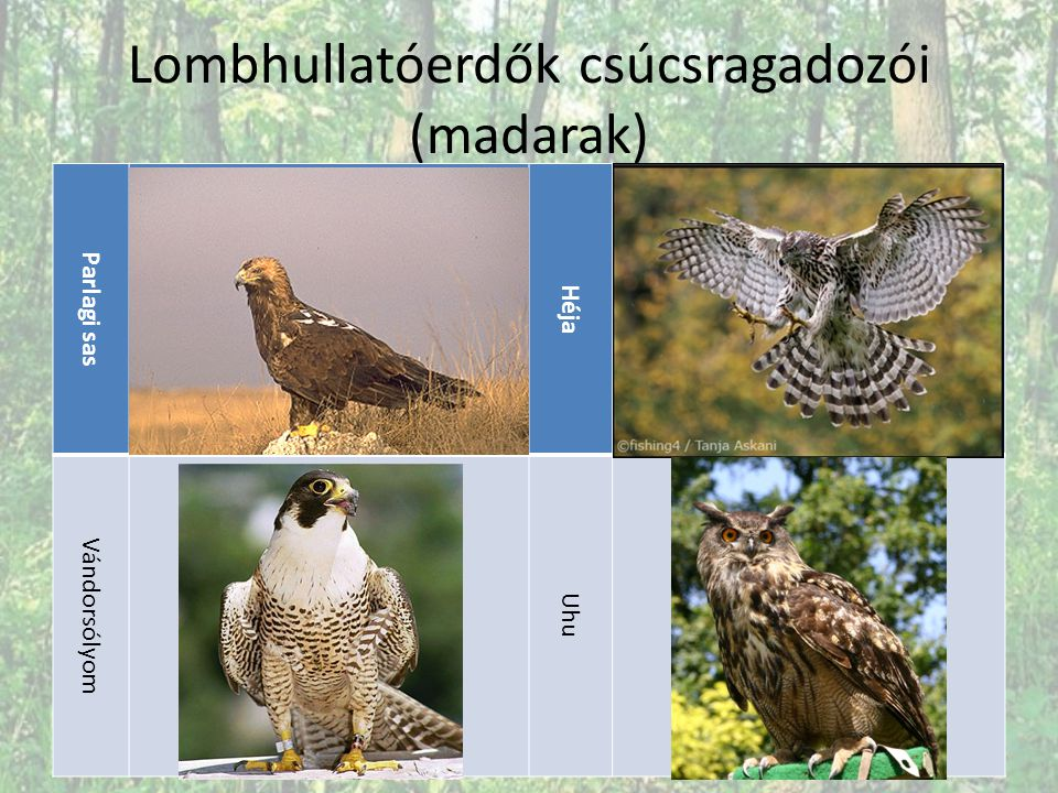Lombhullatóerdők csúcsragadozói (madarak)