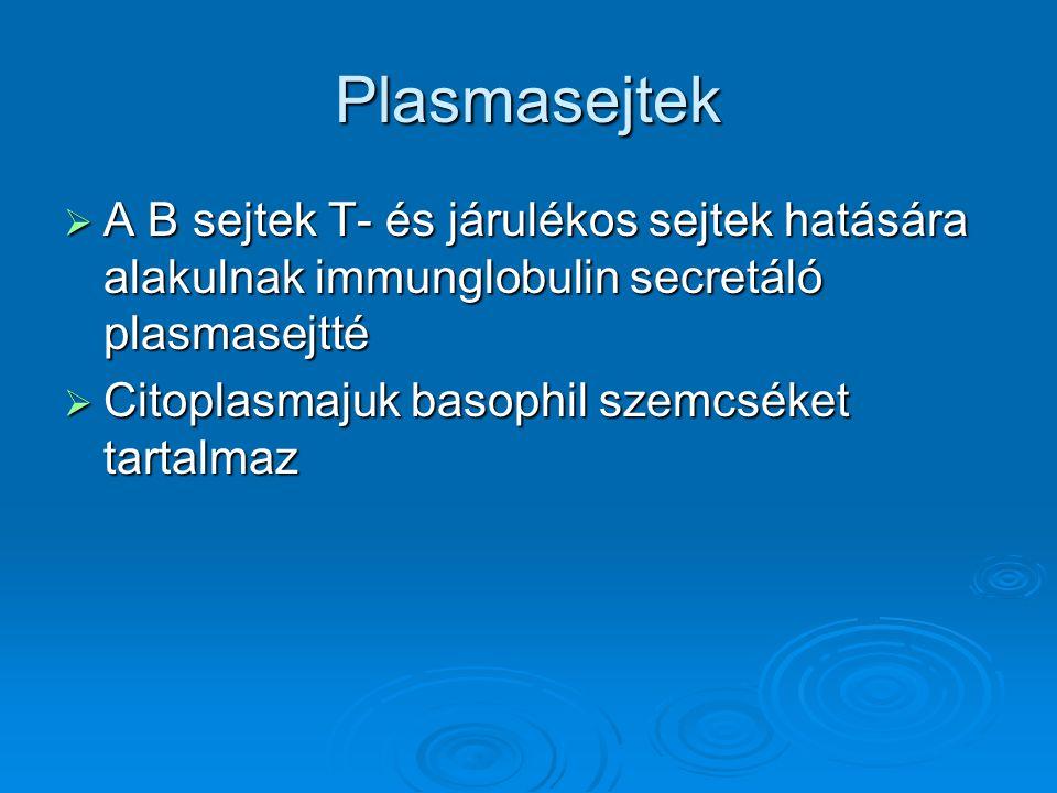 Plasmasejtek A B sejtek T- és járulékos sejtek hatására alakulnak immunglobulin secretáló plasmasejtté.