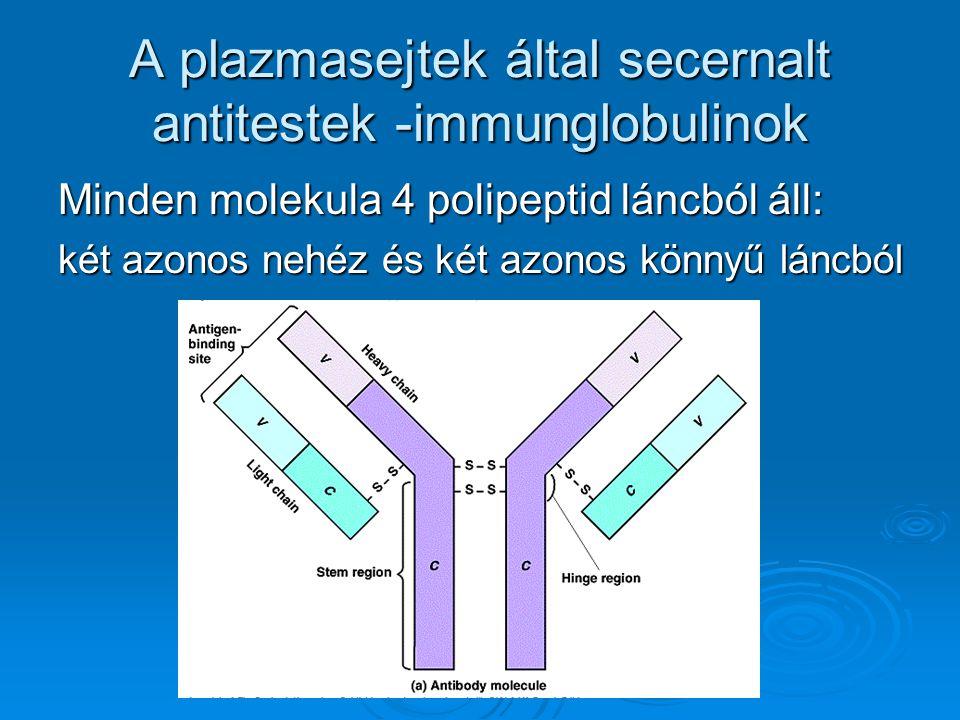 A plazmasejtek által secernalt antitestek -immunglobulinok
